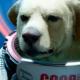 Les_Gardiens_de_la_Galaxie_Cosmo_chien